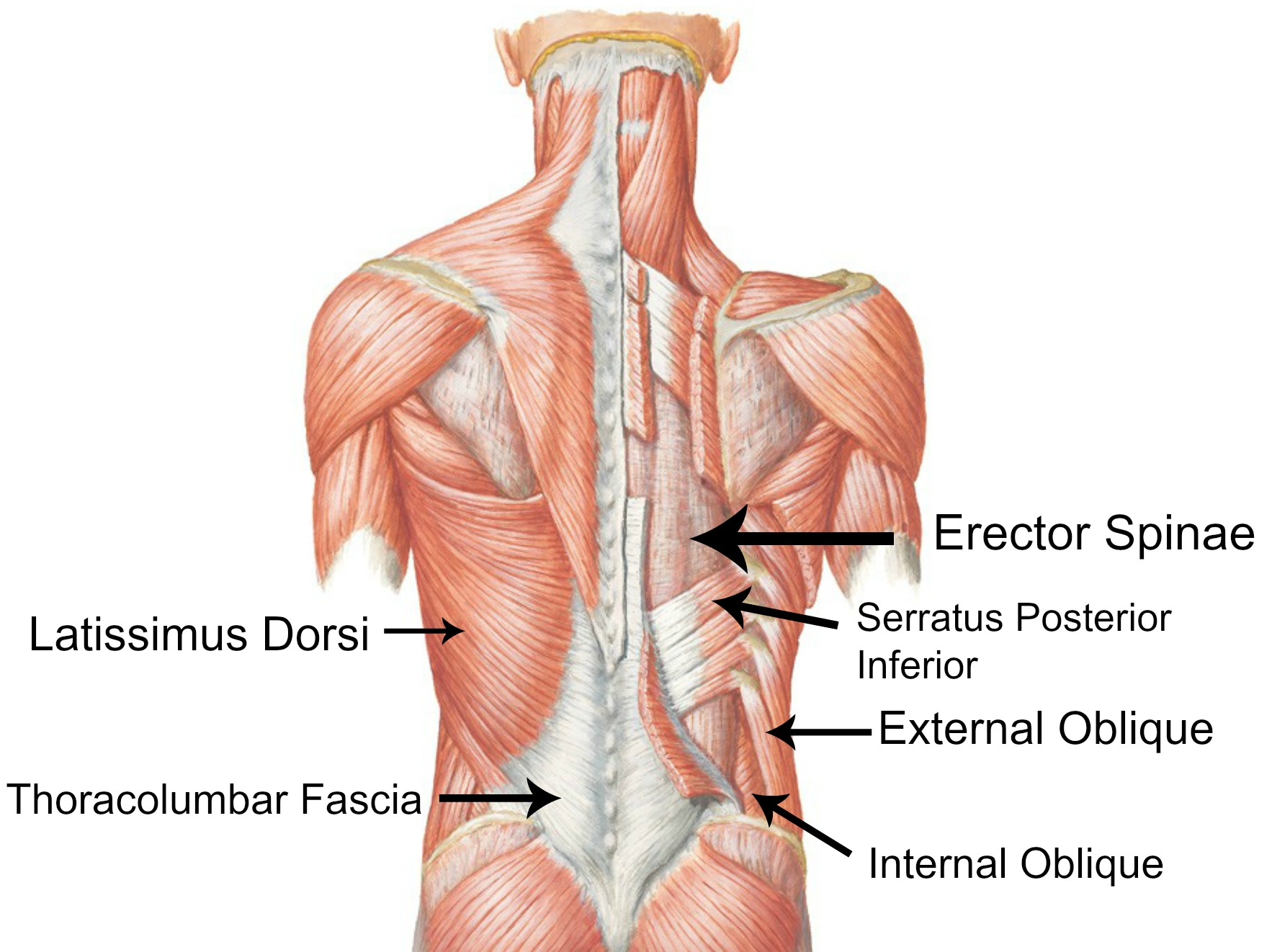 back outer core muscles | the body in motion | pinterest | muscle, Muscles
